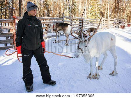 Man With Reindeer At Winter Rovaniemi Lapland Northern Finland