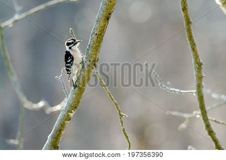 Downy Woodpecker in a tree searching for insects to feed on