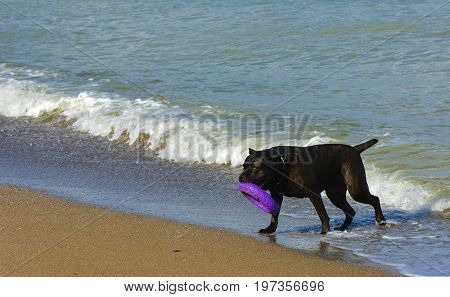 Rottweiler dog in the water on the beach playing with a toy in the form of a ring