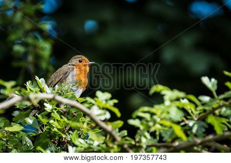 A small European Robins standing on a tree branch