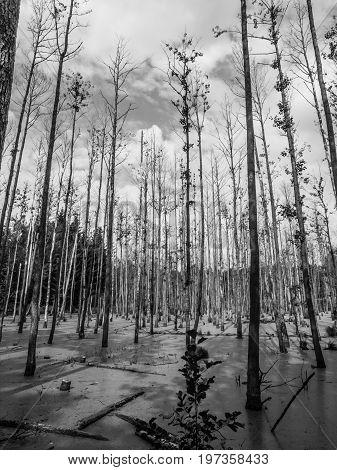 Wet forest swamp full of algae. Black and white image.