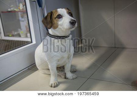 Small dog  on leash sitting floor near door