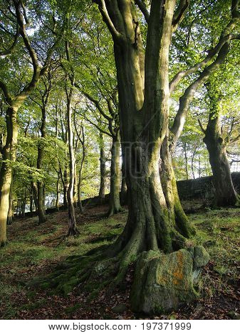 ancient beech trees in woodland forest on pennine hillside with rocks and moss in spring