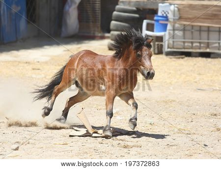A little pony runs in the yard