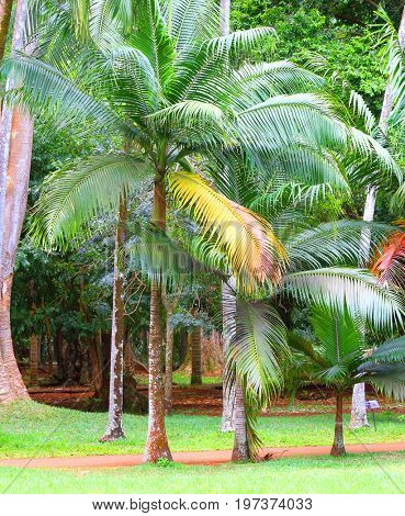 Palm oil plantation. Agriculture in tropical climate. Sustainable development and renewable resources theme.