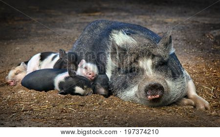 Close up on a  piglet sleeping