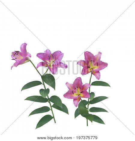 Pink Lily Flowers blossom isolated on white background