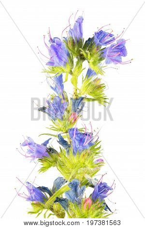 Blueweed or viper's bugloss (Echium vulgare) isolated on white background. Medicinal plant