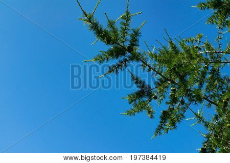 Larch Branches Close-up Against The Blue Sky