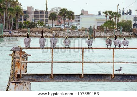 row of pelicans on rusty railing with rope in waterway in Florida