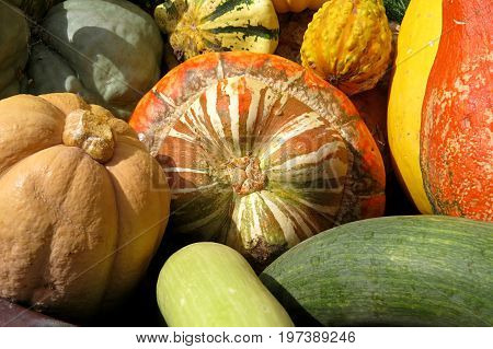Heirloom vegetables collected in a display with pumpkins, marrows, squash and more.