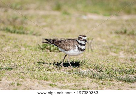 Kildeer is a shorebird in the local area
