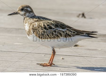 Ruddy Turnstone portrait on the wooden pier in the sun