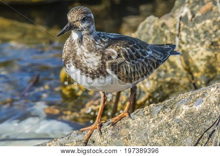 Ruddy Turnstone on the rocks along the shore
