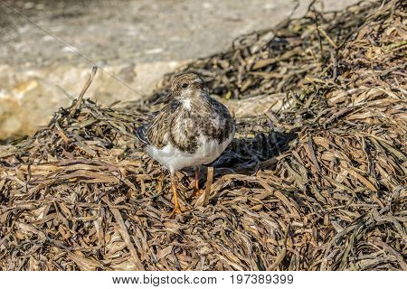 Ruddy Turnstone shore bird foraging in seaweed for food