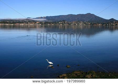 Great Egret (Ardea alba) standing in quiet, shallow water with a mountain in background and a Grebe swimming away.