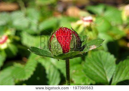 Wild red strawberry berry fruit in native Australian garden
