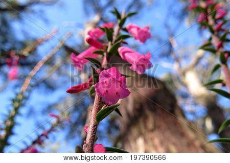 Pink Correa flowers bell-shaped flower plant in Australian bush land