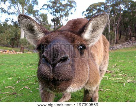 Curious kangaroo marsupial Australian animal in park close-up of face