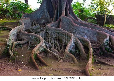 Whimsical tree roots. Large tree in the park of Sao Miguel Island Azores Portugal with a giant rhizome.