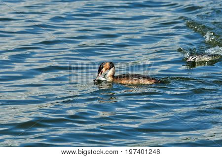 The bird caught a fish. The great crested grebe is a member of the grebe family of water birds. Adult bird, female and chick.
