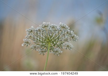 Queen Anne's lace daucus carrota with pastel background  in meadow