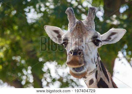 Head And Upper Neck Of A Giraffe (giraffa Caemlopardis), The Tallest Land Animal