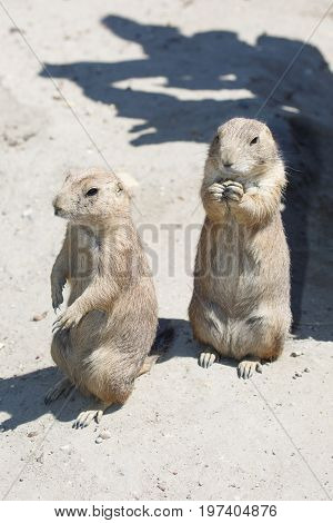 Two Black-tailed Prairie Dog Standing