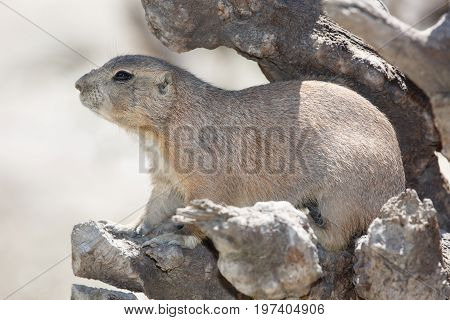 Black-tailed Prairie Dog Is Hiding Among The Rocks