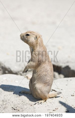 The Black-tailed Prairie Dog (cynomys Ludovicianus) Standing On The Stone And Looking Around
