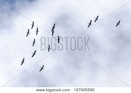 A group, flock of common Cranes in migration. Clouds in the background. Heading north.