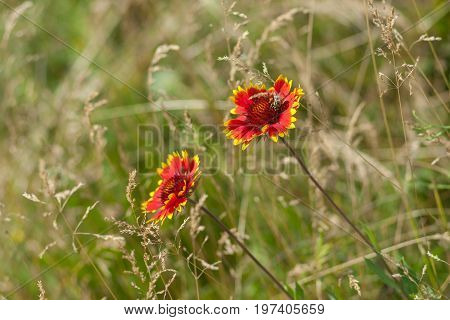 Beautiful feral Indian blanket flowers with bee guest in a summer wild field
