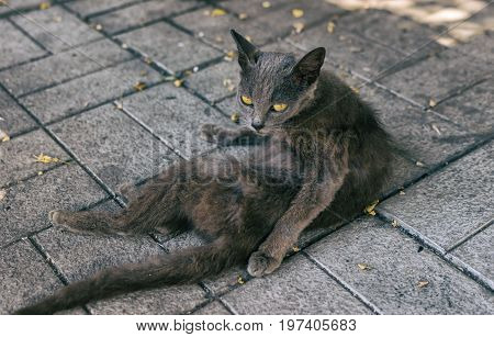 Portrait of alien cat with yellow eyes lying on a dirty pavement and watching