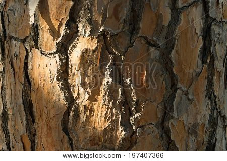 Bark of pine tree. Background texture closeup