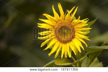 One sunflower in the clear summer noon is turned to the sun. Selective focus. Copy space.