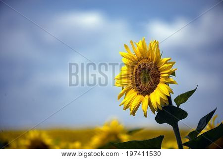 One sunflower above the whole field and in the clear summer noon is turned to the sun. Copy space.