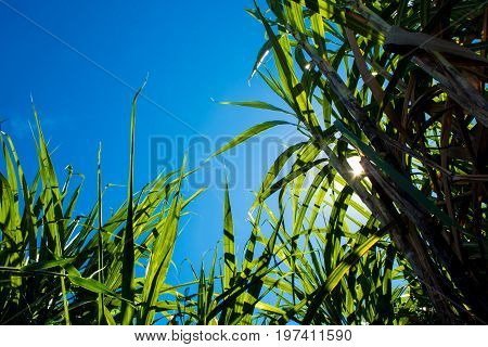 Sunlight And Blue Sky Over The Sugarcane Leaves