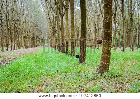Rows A Lot Of Rubber Tree In Thailand. Mass Production Of Rubber