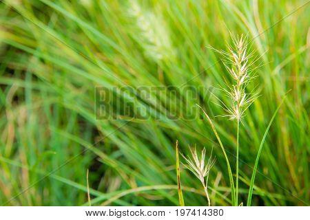 The Benign Flower Of Grass In Wind
