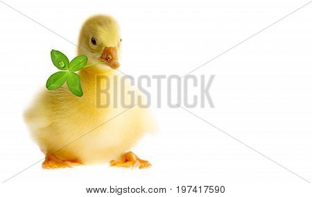 a cute gosling isolated on a white