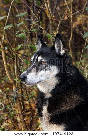 Siberian hunting dog (sled dog) Laika Russia