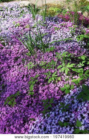 Flowers of creeping Phlox carpeted styloid ground cover