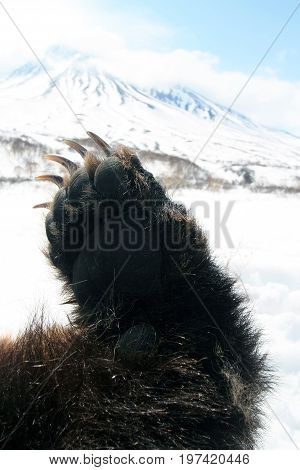 Forepaw Kamchatka brown bear against the background of the volcano on the Kamchatka Peninsula