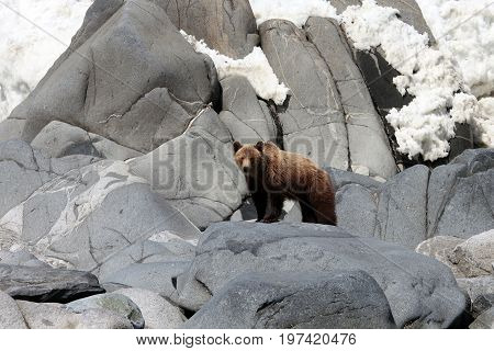 Brown bear in the Spring by the sea. Far East Russia