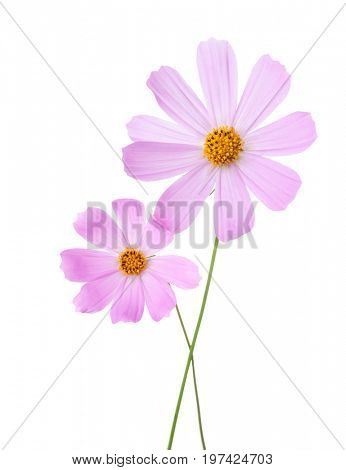 Two light pink Cosmos flowers isolated on white background. Garden Cosmos.