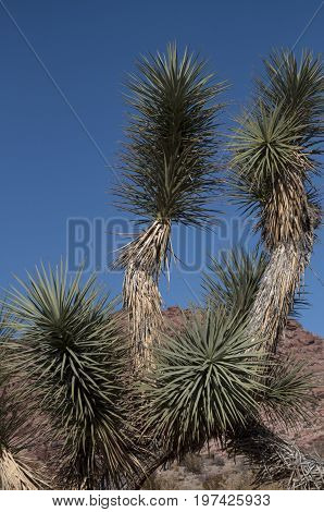 This is an image taken of a tree in the red rock mountains of Nevada