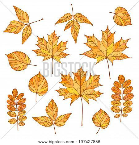 Set of vector autumn leaves. Maple linden acacia acer