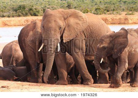 Elephant Family At Waterhole
