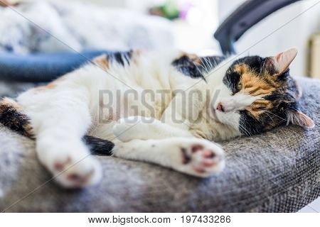 Closeup Of Calico Cat Lying Curled Up In Chair With Tail Under Foot Paw And Shedding Hair