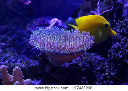 Sea anemone and yellow fish on the bottom of the sea